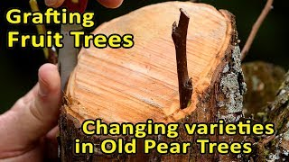 Grafting Fruit Trees | Changing varieties in old Pear Trees | Bark Grafting