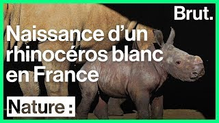 Naissance d'un bébé rhinocéros blanc dans la réserve de Sigean, en France