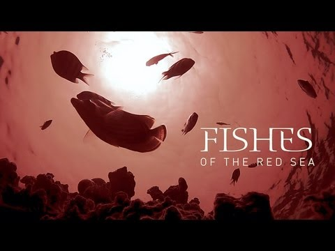 Red Sea Fish - Identification