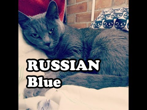 Russian Blue Cat She is very Sleepy and  Unhappy Real 4k 60FPS