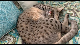 Big Cat Loves Scratches And Belly Rubs/Cute Cat Videos/CatVideos/Cuteness Overload