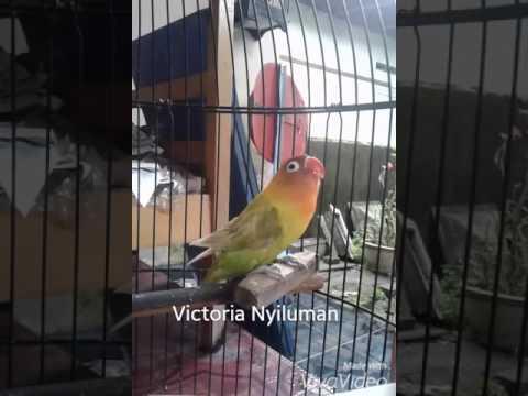 Lovebird ngekek Durasi Panjang