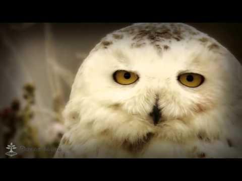Сова белая (полярная)/Owl White (polar)