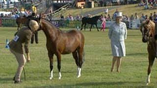 Merlod Cymreig - Ebol Blwydd | Welsh Ponies - Yearling Foal