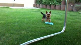 Yorkshire Terrier Dog Playing In The Garden