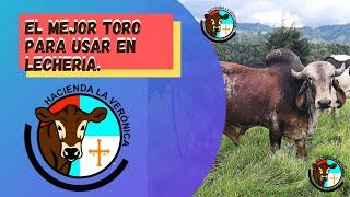 EL MEJOR TORO PARA USAR EN LECHERÍA...