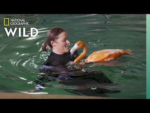 Flamingos Get Hydrotherapy  Secrets of the Zoo