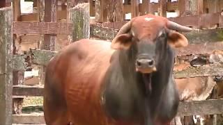Les mostramos a los más bravos toros que llegarán a Zapote thumbnail