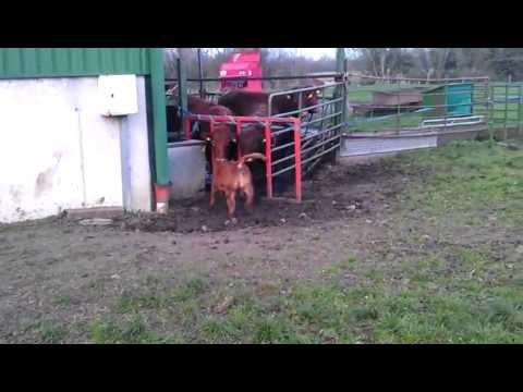 Inra 95 heifer calf Ulrich