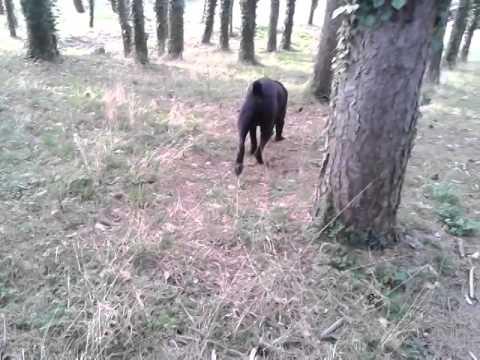 cane-corso-maschio-grande-black