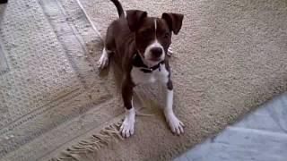 Spike Running around Like Crazy (Pitbull Chihuahua Mix)