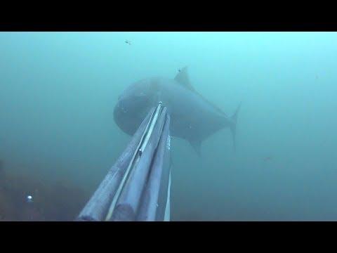 serviola gigante de 45kg del Pescador Diego Rodriguez del equipo Picasso mp4