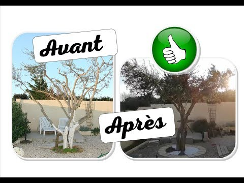 Taille ornementale olivier 2019 DZprod Jardin