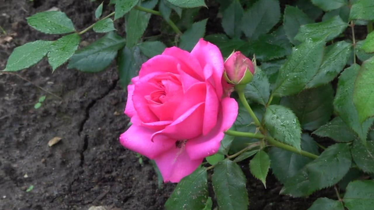Сравниваем розы из Подворья и из питомника Русроза. Как они приживаются и растут в дальнейшем