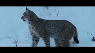 Vahşi kedi VAŞAK