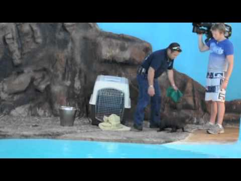 New Zealand fur seal from Adelaide arrives at UnderWater World