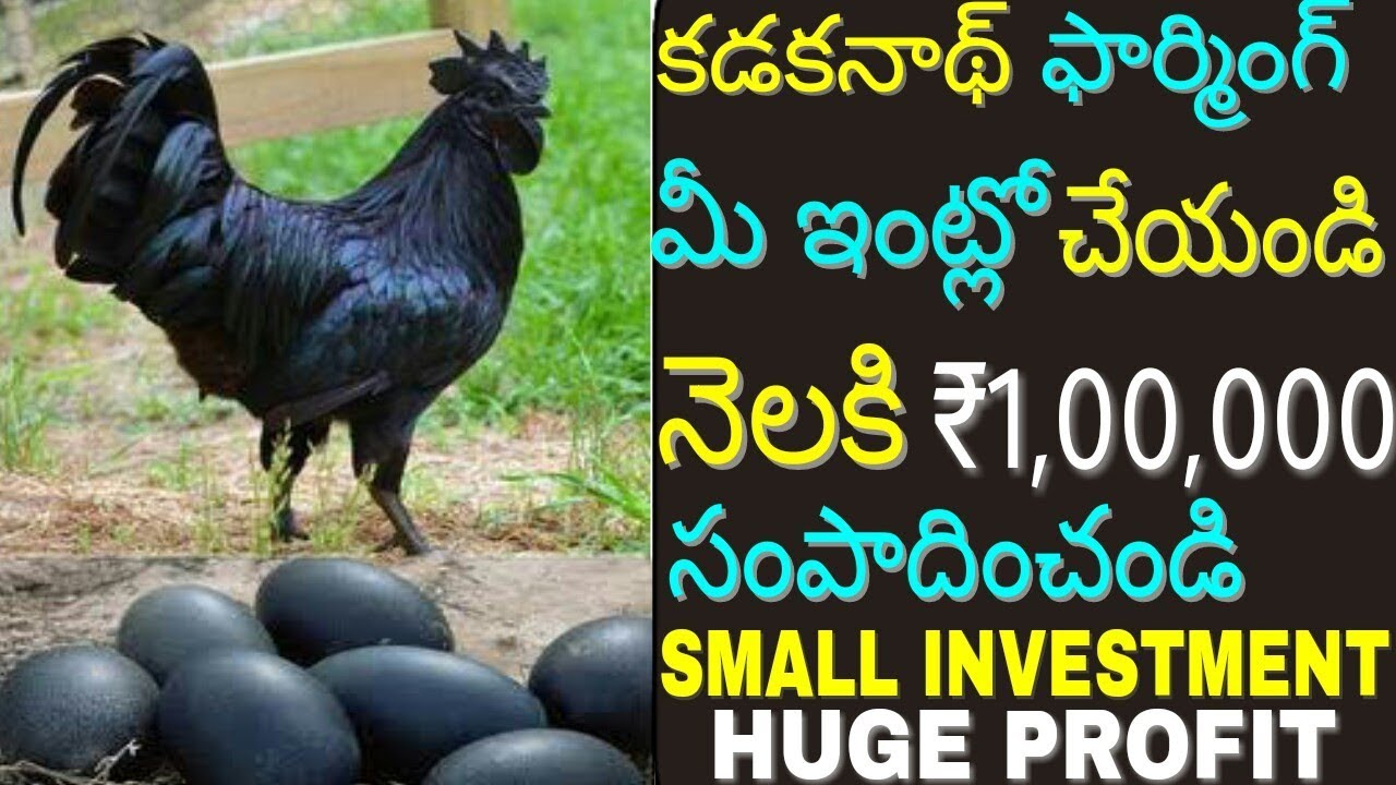 How to start Kadaknath chicken farming at home and earn money | Black  chicken business | in telugu