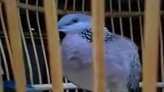 Tiếng chim cu gáy gọi tập bổi mới (cu thái)