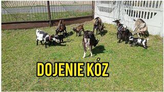 Dojenie kóz - kozy na pastwisku