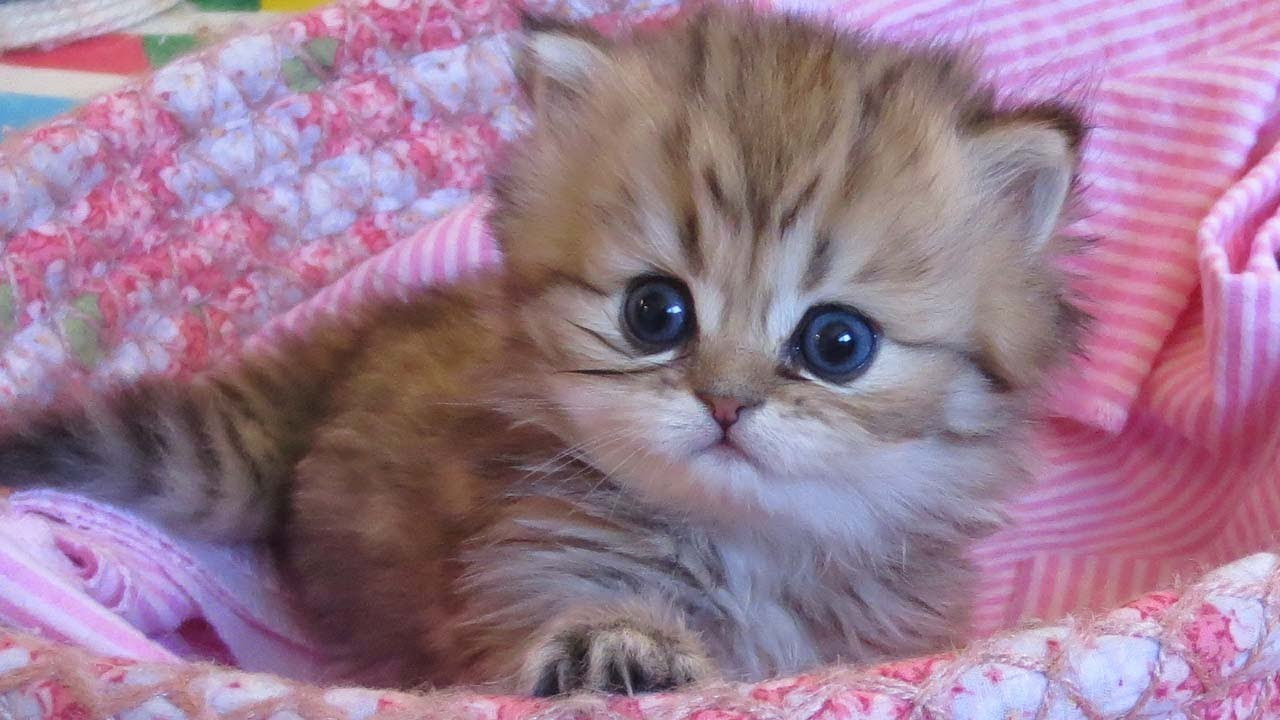 How much are persian cats cost – Popular breeds of cats photo blog