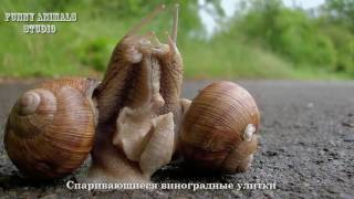 Виноградная улитка - спаривание - snail