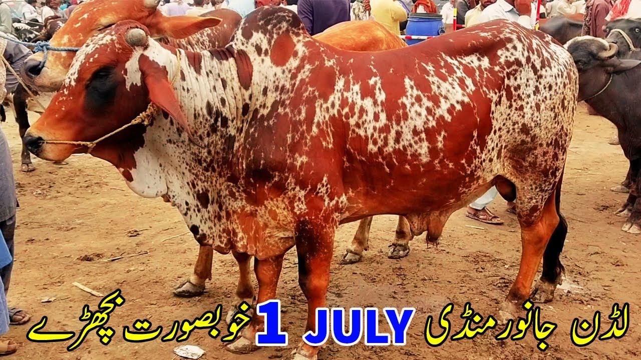Ludan Janwer Mandi 1st July Khobsorat Bachry Urdu\Hindi   SS Tv  
