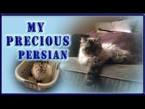 My Precious Persian Cat Charlie