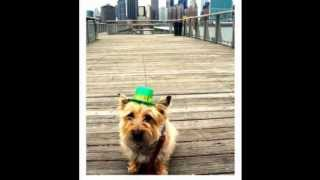 Jazz & The City - A Westie-cairn Terrier Celebrates St. Patrick's Day In Nyc