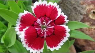 Little flower never worry Accompaniment