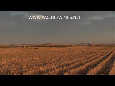 Canada goose hunting using Power Feeder motion decoys with Pacific Wings