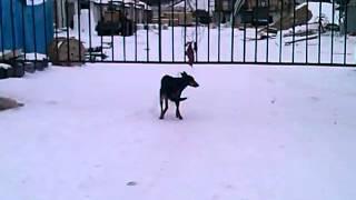 Собака ибет сам себя