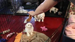 Coton Puppies For Sale - Ireland 3/6/20