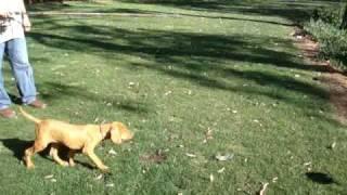 Vizsla Puppy Point, Future Bird Hunter