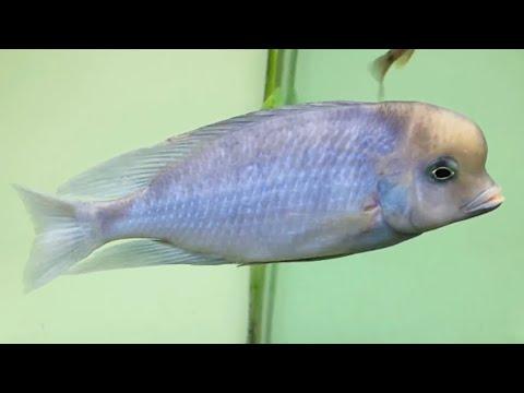 Cichlid Malawi Blue Dolphin Tropical Fish Tank Aquarium