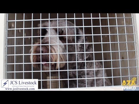 Portuguese Water Dog Move With JCS Livestock!