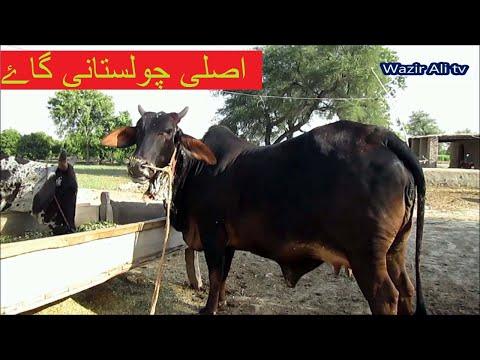 Cholastani Cows Bulls