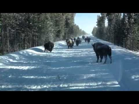 Charging Bison in Yellowstone National Park