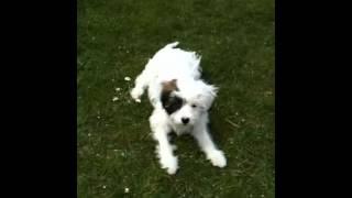 Havamalt puppy Eddison