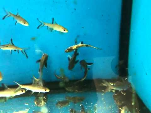 Little sharks eating a fish alive youtube Small sharks for fish tanks