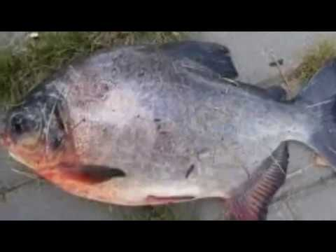 Fish With Human Teeth Caught In Russia - YouTube