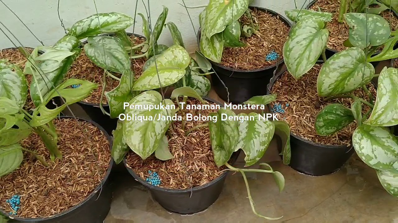 Pemupukan Tanaman Monstera Obliqua/Janda Bolong Dengan NPK