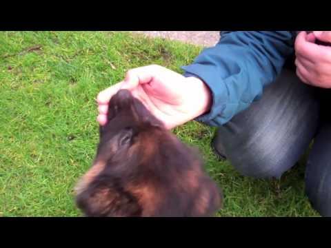 german-shepherd-puppy-9-weeks-old-thor-bites-hand-bites-stick-too