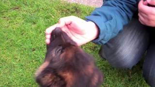 German Shepherd Puppy-9 Weeks Old Thor-bites Hand-bites Stick Too