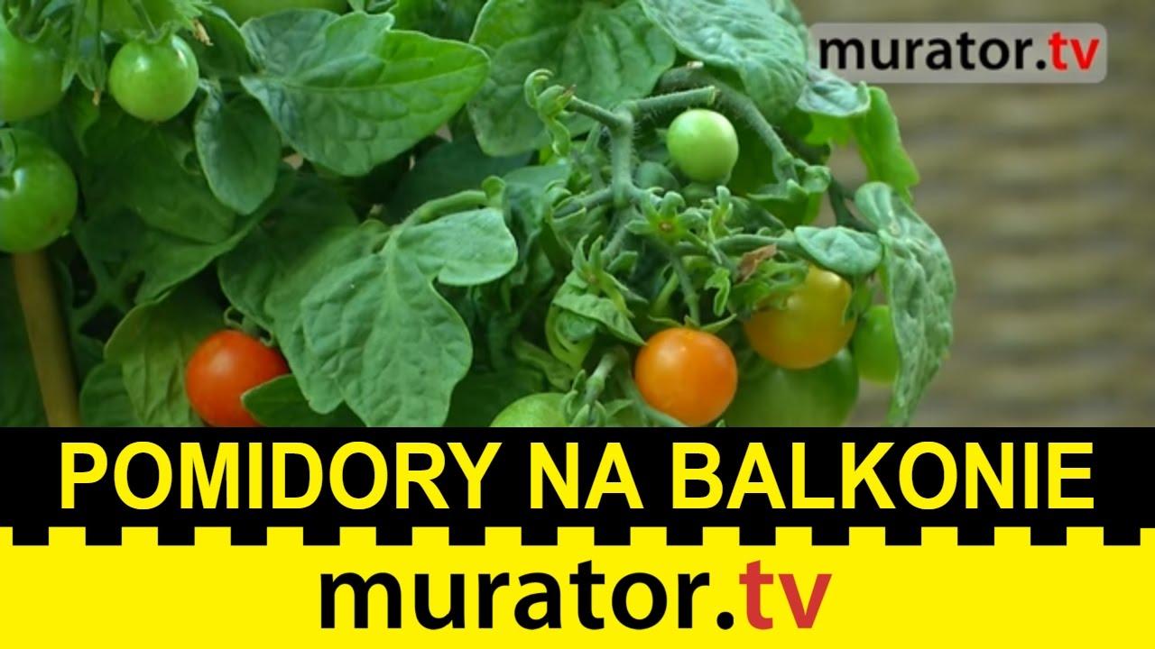 Pomidory Na Balkonie Jak Je Uprawiać