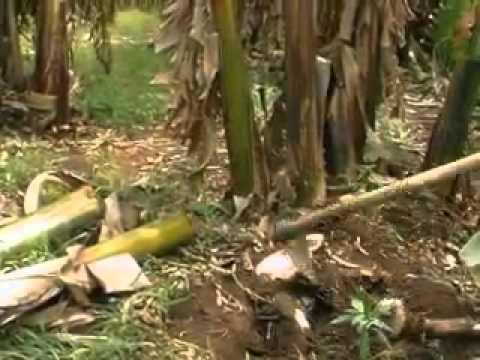 Prevention and control of banana fusarium wilt