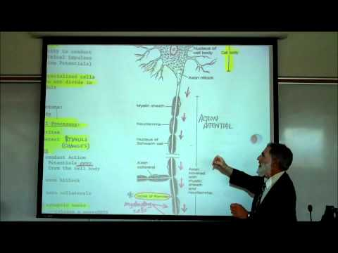 Structure & Types of Neurons by Professor Fink