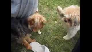 Shih Tzu Puppy Begging To Play With Yorkie (yorkshire Terrier) Puppy (one Of Lexi's Favorite Cousin)