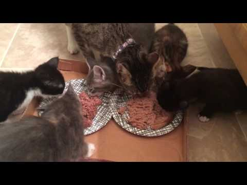 Family Kitten Meal Time! Momma Kitty Encounters The Resident Cats!