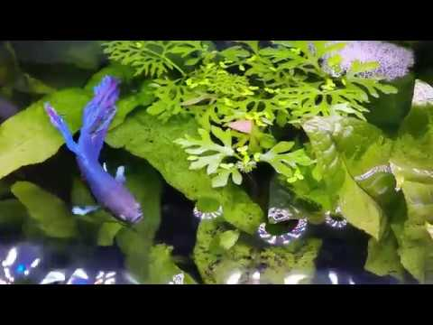 Male BETTA Building Bubble Nest