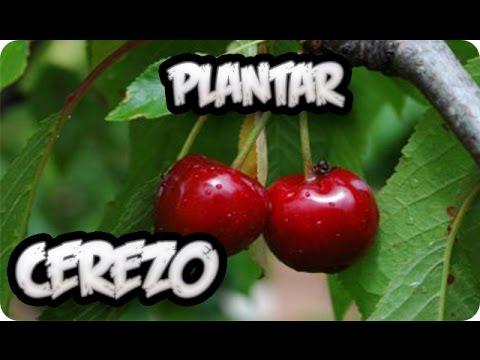 como plantar un frutal cerezo    vergel organico    la huertina de